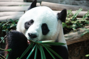 closeup giant panda bear eating bamboo